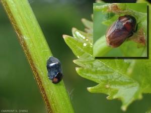 penthimia-nigra