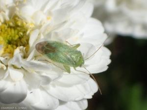 Apolygus-spinolae