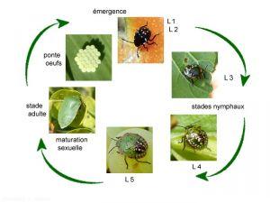 cycle-biologique-punaise