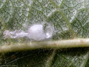 cocon-nymphose-chrysope