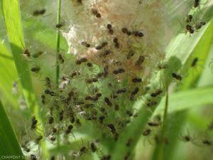 araignee-cocon-eclosion