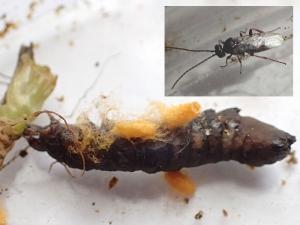 chenille-braconidae