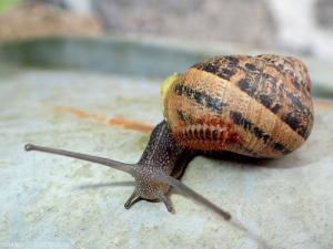 drilus-escargot