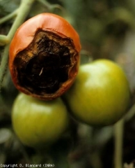 necrose_tomate_DB_251