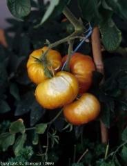 soleil_tomate_DB_240