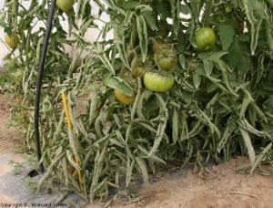leaf_roll_tomate_DB_485_44