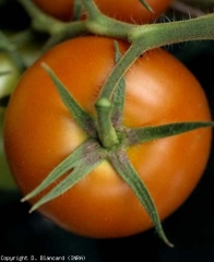 pepMV_tomate_DB_434_136
