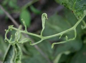 Phytoto_basta_tomate_DB_511_68