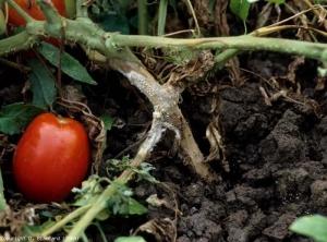 tomate cu boală articulară)