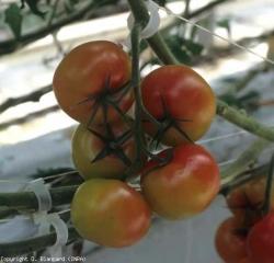 Aleurodes_tomate1