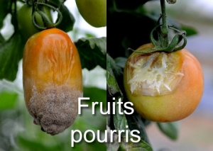 Fruits pourris
