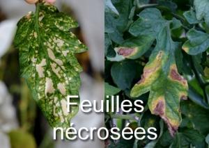 feuilles nécrosées