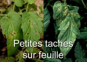 Petites taches feuilles