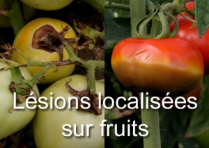 Lesions sur fruit