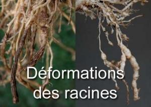 Déformation des racines
