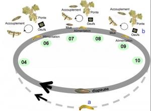 eudemis_cycle