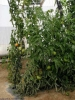 leafroll_tomate_DB_23