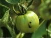 noctuelle_tomate_DB_297
