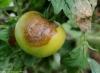 phytoph_tomate_DB_115