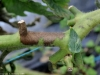 phytoph_tomate_DB_115c