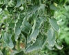 leaf_roll_tomate_DB_486