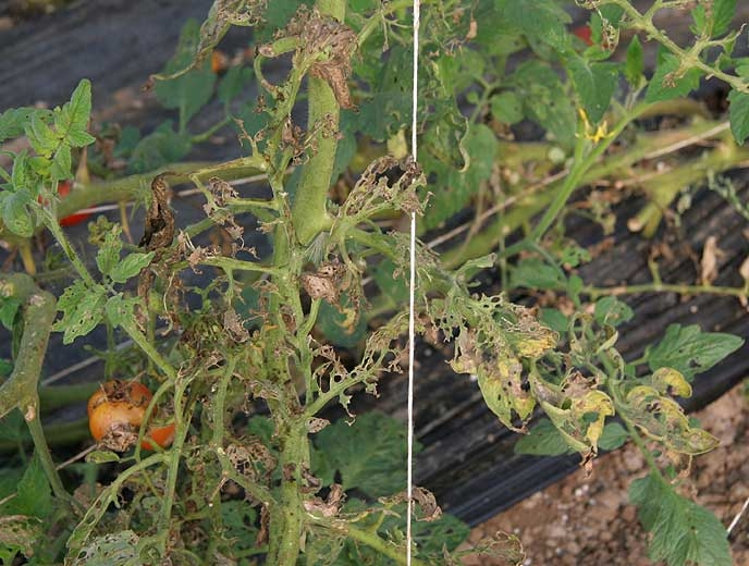 Dans certaines situations de forte pression parasitaire, le limbe est entièrement rongé. Il ne subsiste plus que les nervures des feuilles de tomate. <b>Papillons de nuit</b> (noctuelles)