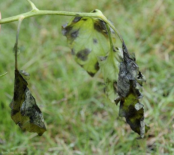 <b><i>Didymella lycopercisi</i></b> a envahi et détruit entièrement plusieurs tendres folioles en conditions particulièrement humides. (taches à <i>Didymella</i>, <i>Didymella</i> leaf spot)