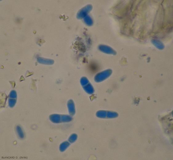 Les pycniospores disposent ou non d'une cloison. Leurs dimensions sont variables d'une conidie à l'autre (3-11 x 2-4,5 µm). <b><i>Didymella lycopersici</i></b> (chancre à <i>Didymella</i>, <i>Didymella</i> stem canker and fruit rot)