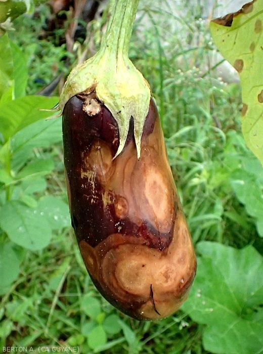 Tropilég - Lésions à Phomopsis (P.vexans)