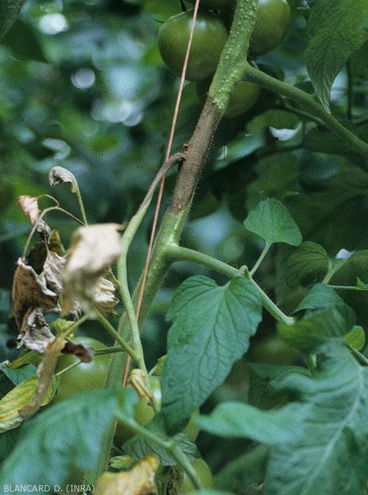 Une altération humide et brun sombre s'est développée à partir d'une plaie d'ébourgeonnage. En plus de ceinturer la tige, elle gagne maintenant le pétiole d'une feuille. <b><i>Didymella lycopercisi</i></b> (taches à <i>Didymella</i>, <i>Didymella</i> leaf spot)