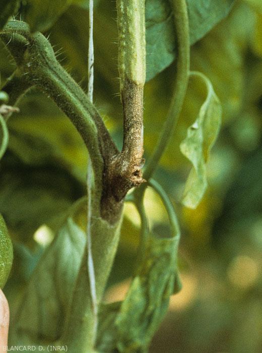 Chancre brun en périphérie, plus clair au centre, bien délimité. <b><i>Didymella lycopersici</i></b> (chancre à <i>Didymella</i>, <i>Didymella</i> stem canker and fruit rot)