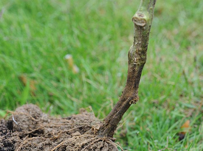 Altération humide et brun sombre ceinturant le collet d'un pied de tomate cultivé en sol. <b><i>Didymella lycopercisi</i></b> (pied noir à <i>Didymella</i>, <i>Didymella</i> collar canker)