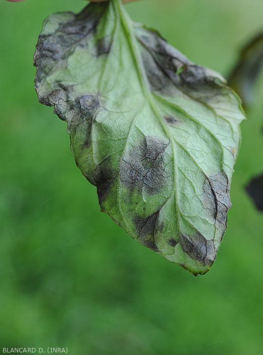 Détail des taches humides et noirâtres présentes à la face inférieure d'une foliole de tomate. <b><i>Didymella lycopercisi</i></b> (taches à <i>Didymella</i>, <i>Didymella</i> leaf spot)
