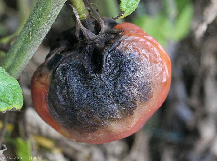 Une large lésion altère une portion importante de ce fruit de tomate.  la pellicule s'avère plus ou moins plissée. La présence de filaments mycéliens mélanisés et de pycnides noires explique la teinte sombre visible au centre de la lésion. <b><i>Didymella lycopercisi</i></b> (pourriture à <i>Didymella</i>, <i>Didymella</i> fruit rot)