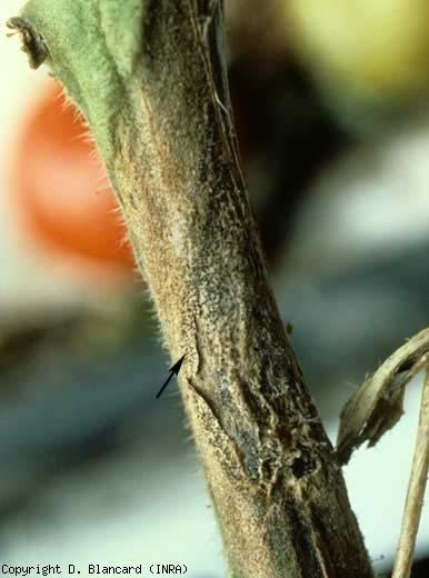 Partie de chancre bien délimitée, parsemée d'une multitude de points noirs (fructifications). <b><i>Didymella lycopersici</i></b> (chancre à <i>Didymella</i>, <i>Didymella</i> stem canker and fruit rot)