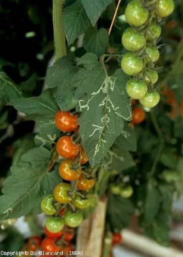 De nombreuses folioles de cette feuille présentent une à plusieurs mines plus ou moins sinueuses. <b><i>Liriomyza</i> sp. </b>(mouches mineuses, leafminers)