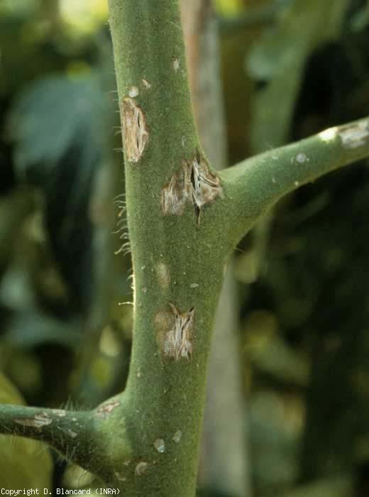 Sur la tige, on observe des lésions localisées et des éclatements plus ou moins prononcés, de teinte brunâtre, s'éclaircissant en se cicatrisant. <b>Grêle</b>