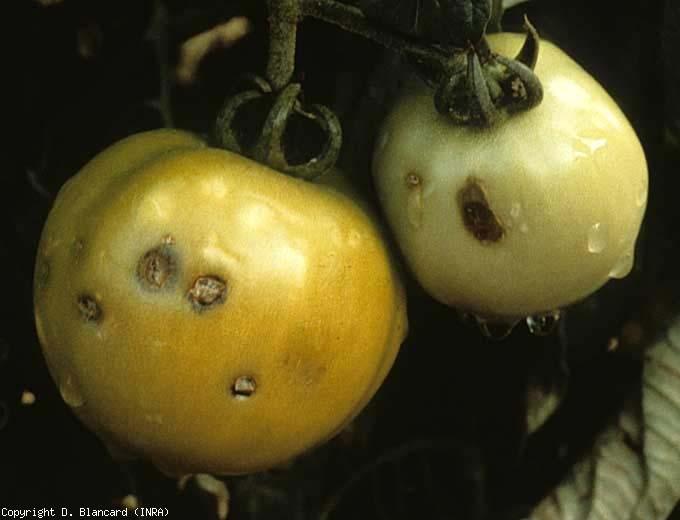 Ces fruits présentent plusieurs impacts de grêlons qui ont plus ou moins subérisés et brunis localement. <b>Dégâts dus à la grêle</b> (hail injuries)