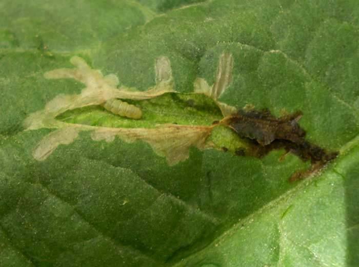Dégâts sur foliole d'une larve de <i><b>Tuta absoluta</b></i>.