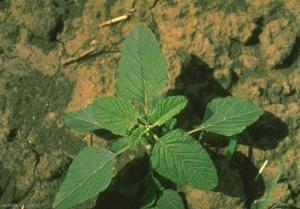 Amaranthus-retroflexus3