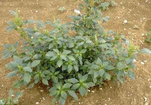 Amaranthus-retroflexus5