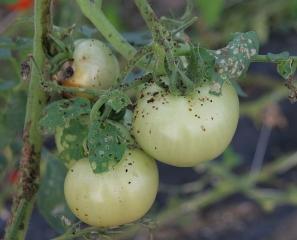 De nombreuses chiures brunes à noires confirment la présence de larves de <b>Papillons de nuit</b> sur ces fruits verts de tomate. (noctuelles)