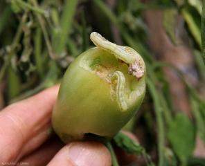 Deux larves sont visibles sur ce fruit vert partiellement dévoré. <b>Papillons de nuit</b> (noctuelles)