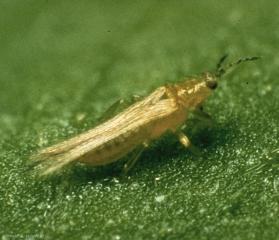 Frankliniella-occidentalis2