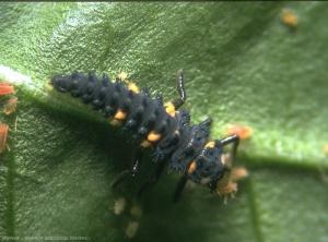 larve_cocci_7pts_2