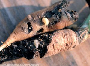 Listronotus oregonensis carotte