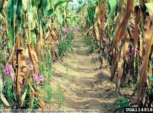 Striga hermonthica maïs