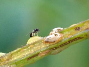 coccidae-parasitee