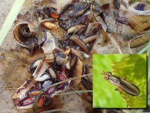 sciomyzidae-escargot
