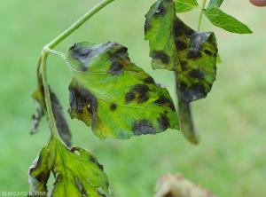Plusieurs taches humides et noirâtres altèrent plusieurs folioles de tomate. <b><i>Didymella lycopercisi</i></b> (taches à <i>Didymella</i>, <i>Didymella</i> leaf spot)